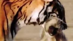 '호랑이vs원숭이'…소름 돋는 맹수의 눈빛