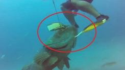 상어의 천적 '골리앗그루퍼'…잠수부도 '움찔'