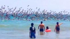 해수욕장 '습격' 수천마리 새떼…동시 다이빙!
