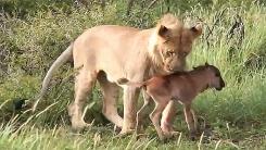 송아지 지켜주는 사자…완벽한 '철통방어'