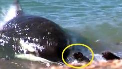 '바다의 강도' 범고래…바다표범 한방에 제압
