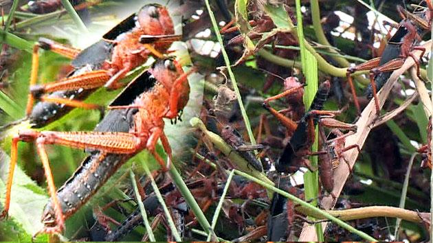 해남 메뚜기떼 방제 이틀째…농작물 피해 확산