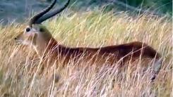 아프리카들개 무리에 둘러싸인 영양 '옴짝달싹'