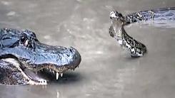 악어vs버마왕뱀…승부욕 발동에 기싸움 '살벌'