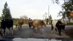 도로 점령한 소 떼…'지나갈 수가 없네'