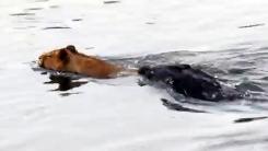 사자가 악어와 마주쳤다…물속에서 '혼비백산'