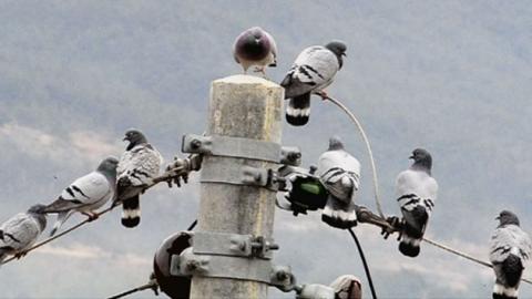 집비둘기에 밀려 멸종위기…토종 텃새 낭비둘기