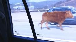 [제보영상] 황소는 어쩌다 고속도로를 달렸을까요