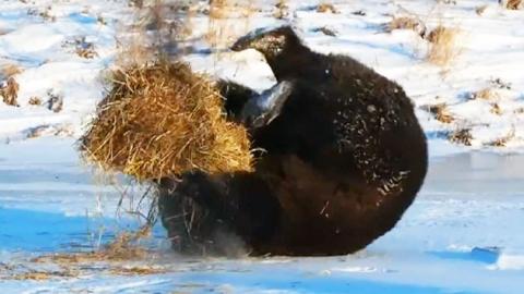 손연재를 꿈꾸는 야생 곰?