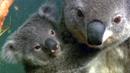 호주, 코알라 급증 '골머리'…7백마리 안락사