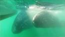 회색고래 수천 마리, 멕시코 고래 보호구역 출현