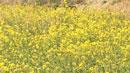 일찍 핀 유채꽃이 봄을 재촉합니다