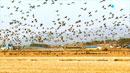 천수만에 흑두루미 4천 마리…첫 촬영