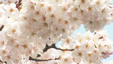 '벚꽃 놀이' 어디가 원조?…한·중·일 원산지 논란