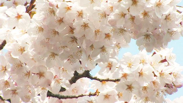 """중국도 """"우리가 원조""""…한·중·일 '벚꽃삼국지'"""