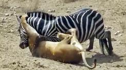 사자 공격에서 탈출하려는 얼룩말의 사투