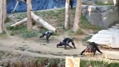 정신 나간 침팬지의 폭행 사건…막대기로 위협