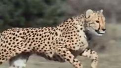 먹잇감 쫓는 치타의 완벽한 달리기