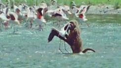 개코원숭이의 플라밍고 사냥…날렵하게 '홱'