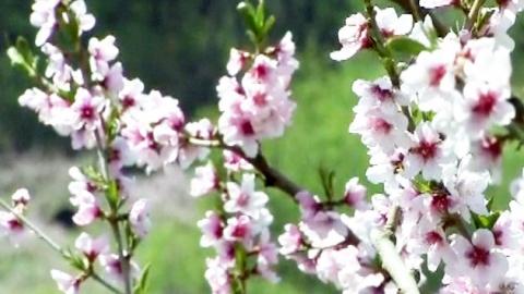 분홍 빛깔의 복사꽃 활짝…봄 내음 절정