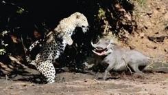 표범을 '화들짝' 놀라게 만든 멧돼지의 '못생김'