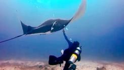 바닷속 신비의 생명체 '만타 가오리' 구출 작전
