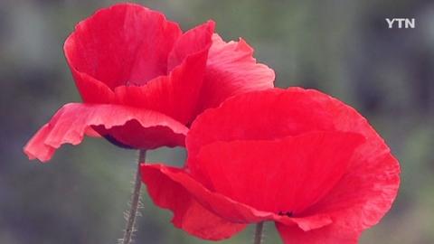 관상용 양귀비 꽃 만개