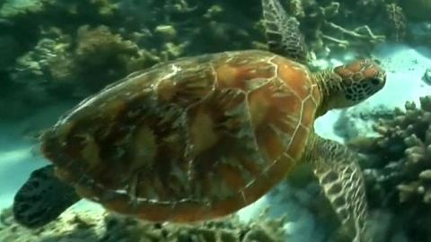 위기의 바다거북, 정력제로 먹지 말아 주세요!