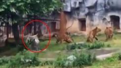 호랑이 3마리 제압하는 '무술 고수 두루미'