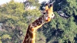 목 부러진 기린…지그재그 척추로 5년간 생존