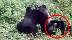 부부싸움 말리는 아기 고릴라 '싸우지들 마세요'