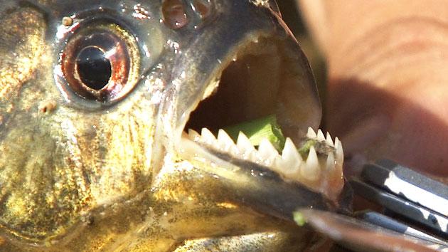 횡성 저수지서  식인물고기 '피라니아도 발견'
