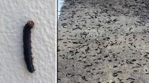 온 마을에 퍼진 '검은 벌레떼'…방역도 무용지물