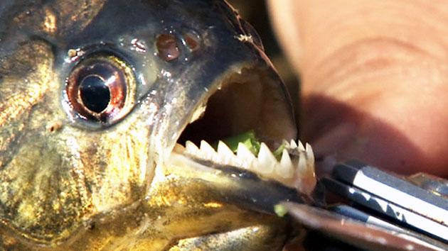 아마존 육식 물고기 피라니아, 한국에는 천적 없다