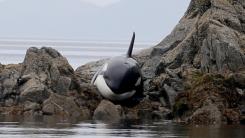 바위에 낀 범고래 구하기 '8시간 대작전'