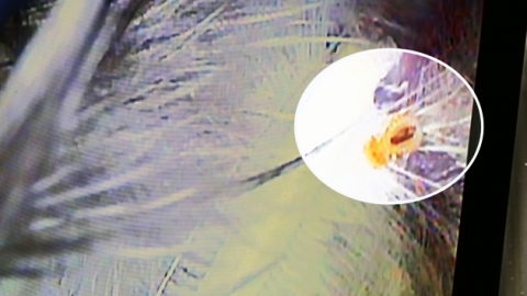 비둘기 깃털 속, 노란 벌레의 정체는?