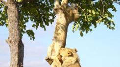 '사자의 굴욕' 나무에서 떨어지는 밀림의 왕