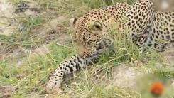 '새야 어디가?' 사냥 실패에 민망해진 표범