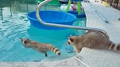 """'귀여움 폭발' 라쿤의 수영 실력은? """"형 빨리 나와"""""""