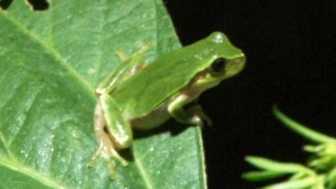 풀잎 위에서 노래하는 '수원청개구리'…생존의 비밀은?