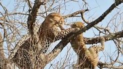 '수컷 vs 암컷'…나무 위에서 맞닥뜨린 표범