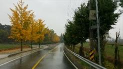 마주선 노랑·초록 은행나무…'계절의 분계선?'