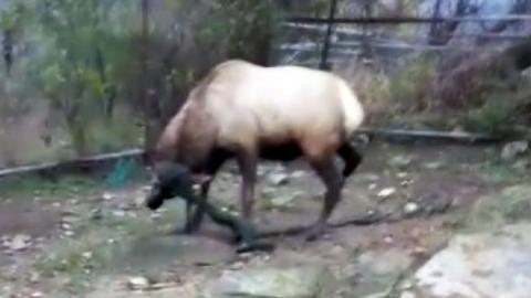 [영상] 뿔에 그물 걸린 사슴, '셀프 구조'
