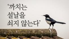 [한컷뉴스] '까치는 설을 쇠지 않습니다'