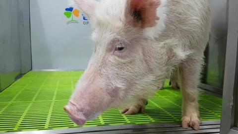 치매 대물림 복제돼지 국내 첫 생산…치매 연구 탄력