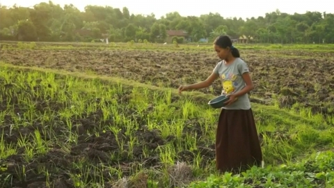 '천 원'에 중독 무릅쓰고 담배 농사짓는 아이들