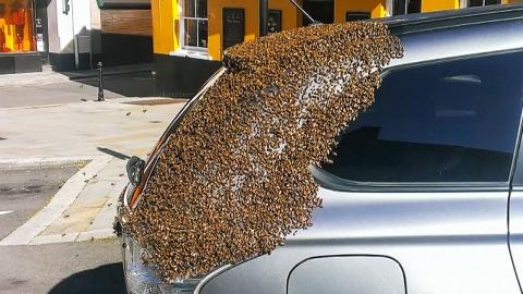 '꿀벌대소동'…2만 마리 벌떼 달고 도로 누빈 차