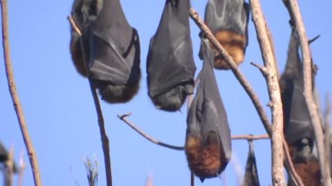 [영상] 박쥐떼에 점령당한 휴양지…'비상사태'
