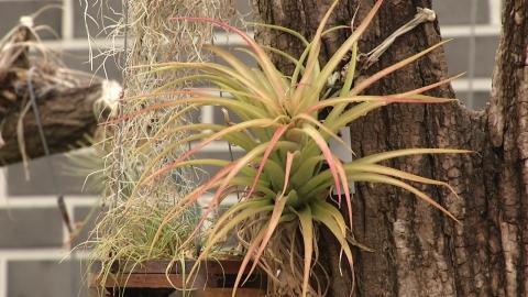 열대 식물 '틸란드시아', 실내 발암물질 제거 탁월