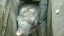배수구에 빠진 새끼 코끼리 구출작전